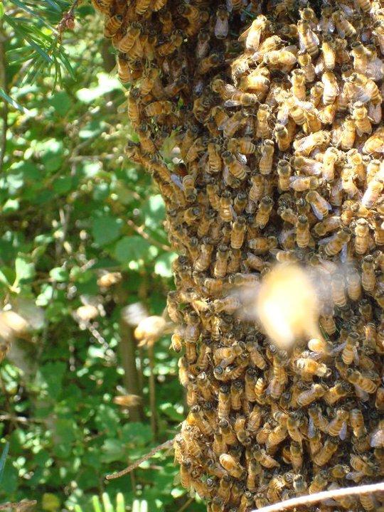 bees= local honey